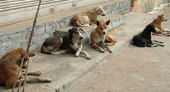 كلاب ضالة تثير الهلع في سويمة